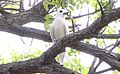 White Tern (Gygris alba) (1) (26464733435).jpg