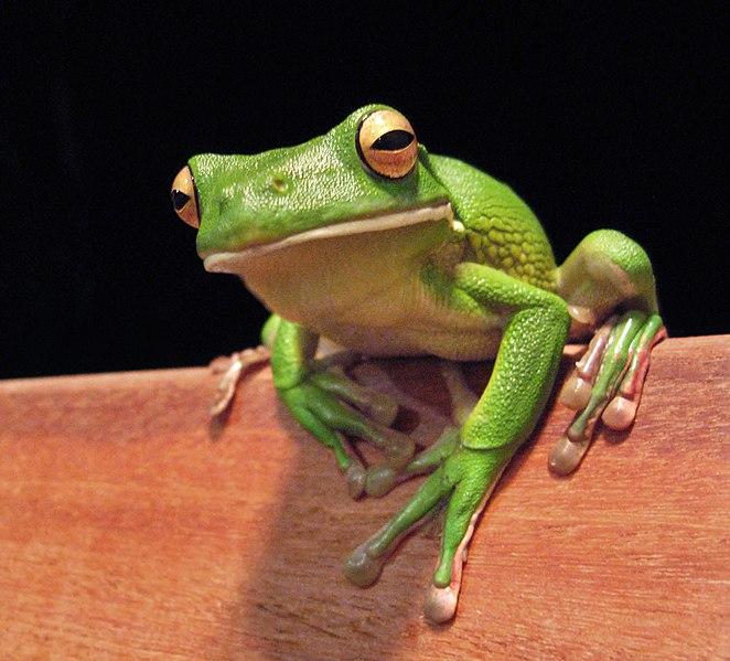File:White lipped tree frog cairns jan 8 2006.jpg