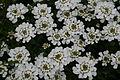 Whiteflower1web - West Virginia - ForestWander.jpg