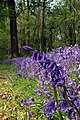 Whitepost Wood Bluebells - geograph.org.uk - 169555.jpg