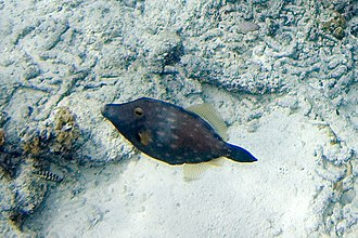 Cantherhines macrocerus - American whitespotted filefish (Cantherhines macrocerus)