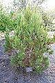 Widdringtonia nodiflora - Mendocino Coast Botanical Gardens - DSC02052.JPG