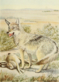 Wild animals of NA (1918) Plains coyote.png