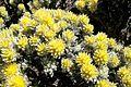 Wild flower Northern Goldfield Western Australia.jpg