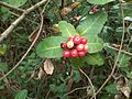 Wild fruits from volonem,tivim goa.jpg