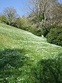 Wild garlic, Coleton Fishacre gardens - geograph.org.uk - 1181746.jpg