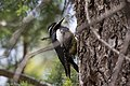 Williamson's Sapsucker (male) Forest Rd 42 Loop Chiricahuas Portal AZ-83 (35036980524).jpg