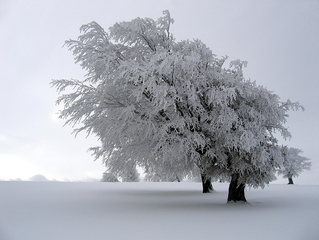 Un arbre par fort givre, en Forêt-Noire (Allemagne). (définition réelle 2643×1986*)