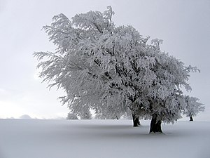 Atmospheric icing - The effect of atmospheric icing on a tree.