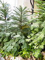 Wollemia nobilis - US Botanic Gardens - Stierch.jpg