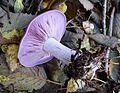 Wood Blewit. Lepista nuda - Flickr - gailhampshire.jpg