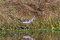 Wood Sandpiper (Tringa glareola) (14180497720).jpg