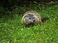 Woodchuck offspring in our yard (5826407870).jpg