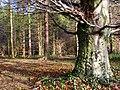 Woodland near the Lagan towpath - geograph.org.uk - 1136884.jpg