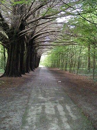 Coole Park - Woodland path at Coole Park