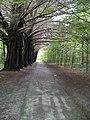 Woodland path - Coole Demesne Townland - geograph.org.uk - 1316119.jpg