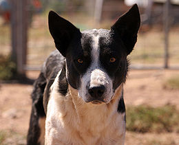 This working dog is a border collie mix.