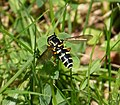 Xanthogramma citrofasciatum - Flickr - gailhampshire (1).jpg