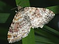 Xanthorhoe spadicearia - Red twin-spot carpet - Ларенция коричневая (39150718890).jpg