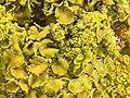 Xanthoria calcicola 57150529.jpg