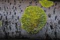 Xanthoria parietina 55082372.jpg