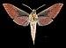 Xylophanes rhodochlora MHNT CUT 2010 0 226 Cali Colombia male ventral.jpg