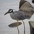 Yellow-crowned night Heron (48274693966).jpg