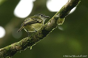 Yellow-margined Flatbill (443541342).jpg