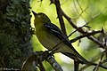 Yellow-throated Vireo Sabine Woods High Island TX 2018-04-26 12-36-38-2 (42046191112).jpg