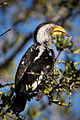 Yellow Billed Hornbill.jpg