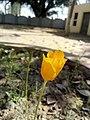 Yellow Flower Papaveraceae.jpg