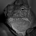Yemen's Chameleon.jpg