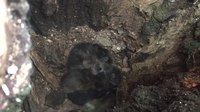 File:Young Raccoons Napping.webm
