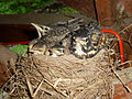Young Robins 02.jpg