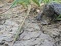 Young Turtle's Long Walk (6215446919).jpg