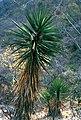 Yucca capensis fh 0618 Baja California Sur BB.jpg