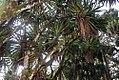 Yucca elephantipes 22zz.jpg