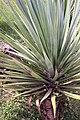 Yucca elephantipes 3zz.jpg