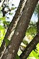 Yucca elephantipes 6zz.jpg