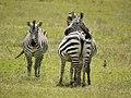 Zebra's op de uitkijk (6693815371).jpg
