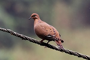 Zenaida dove - male, Jamaica
