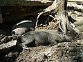 Zoo Tábor-Větrovy, prase divoké 03.jpg