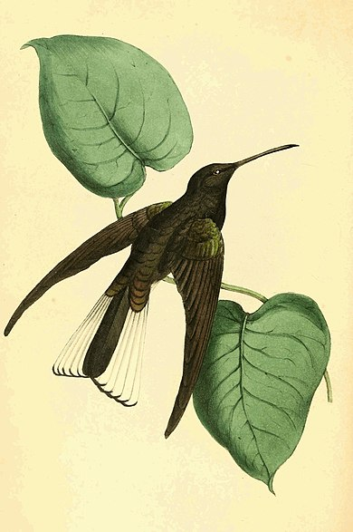 Zoological Illustrations Volume II Plate 82.jpg