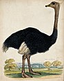 Zoological Society of London; an ostrich. Coloured etching. Wellcome V0023139.jpg