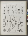 Zoologie. Annélides. Léodices, Aglaures, Oenones, Bdelles, Planaires (NYPL b14212718-1268549).tiff