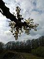 Zum Licht - Eschenblüte.JPG