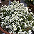 'Giga White' alyssum IMG 5034.jpg