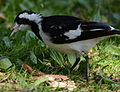 (1)Magpie-lark-4.jpg
