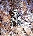 (2171) Marbled Coronet (Hadena confusa) (34947507526).jpg