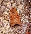 (2267) Beaded Chestnut (Agrochola lychnidis) (36595799113).jpg
